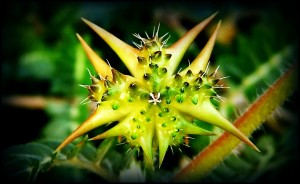 tribulus-terrestris-and-testosterone-does-tribulus-work